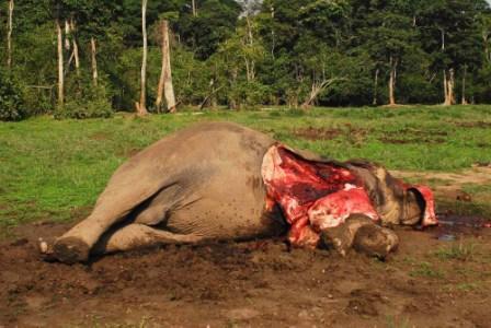 Le braconnage : un danger permanent pour les Eléphants du Tchad