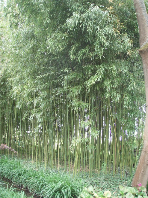 bambou10