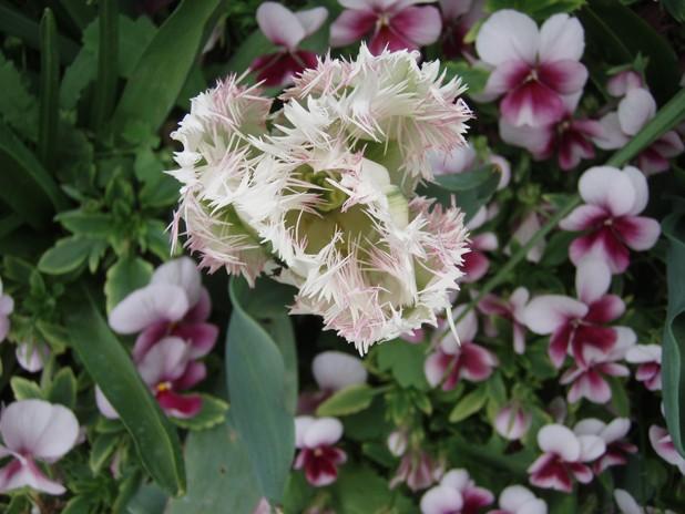 tulipe11