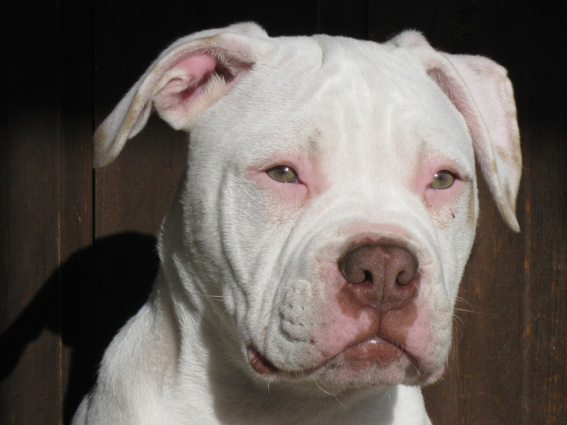 red nose american bulldog american bulldog red nose dadou74 238