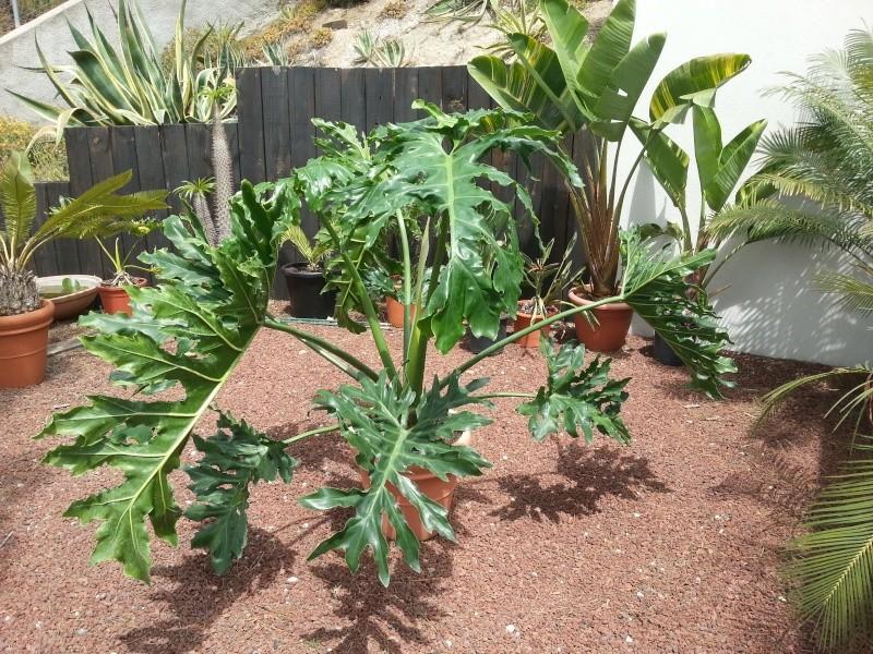 Philodendron bipinnatifidum selloum un monstre v g tal for Vegetal en anglais