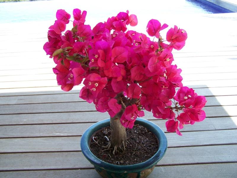 Bougainvillier bonsai - Tailler un bougainvillier ...