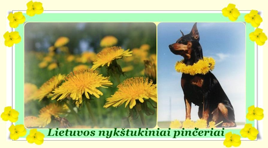 Lietuvos nykštukiniai pinčeriai
