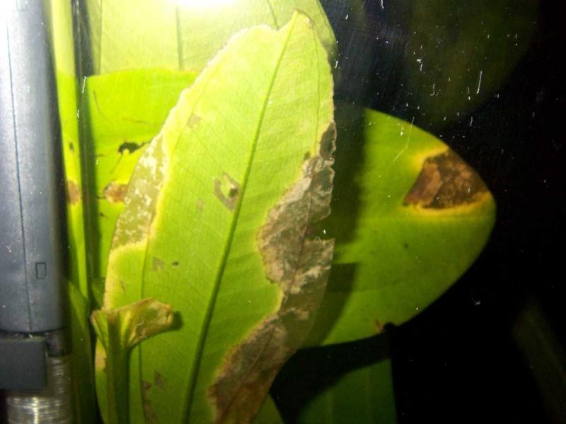 plante aquatique feuille jaune