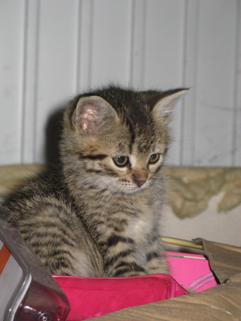 Adoption iori chaton tigr marron valenciennes - Couper les griffes d un chaton de 2 mois ...