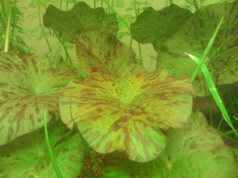 Lotus tigré rouge
