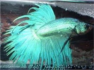 Los bettas segun su color - Como se hace el color turquesa ...